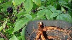 Sedmikráska bylinný extrakt Eleuterokok  250 ml