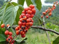 Sedmikráska bylinný extrakt Guarana plod  250 ml