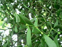 Sedmikráska bylinný extrakt Jmelí 250 ml, imunita*antioxidant*hladina lipidů v krvi*srdce a cévy* doplněk stravy Rodinná farma Sedmikráska