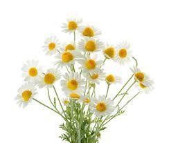 Sedmikráska bylinný sirup Heřmánek 500 ml *Imunita*trávení*dýchací soustava*, doplněk stravy Rodinná farma Sedmikráska