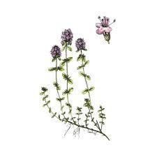 Sedmikráska bylinný sirup Mateřídouška 500 ml Trávení, dýchací soustava, imunita, doplněk stravy Rodinná farma Sedmikráska