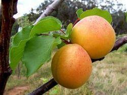 Sedmikráska ovocno - bylinný sirup Meruňka s rozmarýnem 500 ml doplňek stravy *Trávení *osvěžení* těla* pročištění* antioxidant* Rodinná farma Sedmikráska