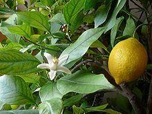 Sedmikráska ovocno - zeleninový  sirup Citron s okurkou 500 ml