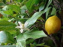 Sedmikráska ovocno - zeleninový sirup Citron s okurkou 500 ml doplňek stravy *dýchací soustava*únava*imunita* Rodinná farma Sedmikráska