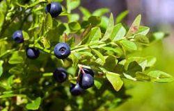 Sedmikráska ovocný sirup Borůvka 500 ml - Stav zraku, antioxidant, cévní soustava, trávení, doplněk stravy Rodinná farma Sedmikráska