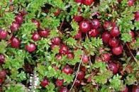 Sedmikráska ovocný sirup Brusinka 1000 ml , doplněk stravy , Antioxidant , přirozená obranyschopnost Rodinná farma Sedmikráska