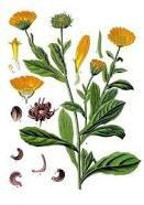 Sedmikráska bylinný extrakt Měsíček květ 250 ml